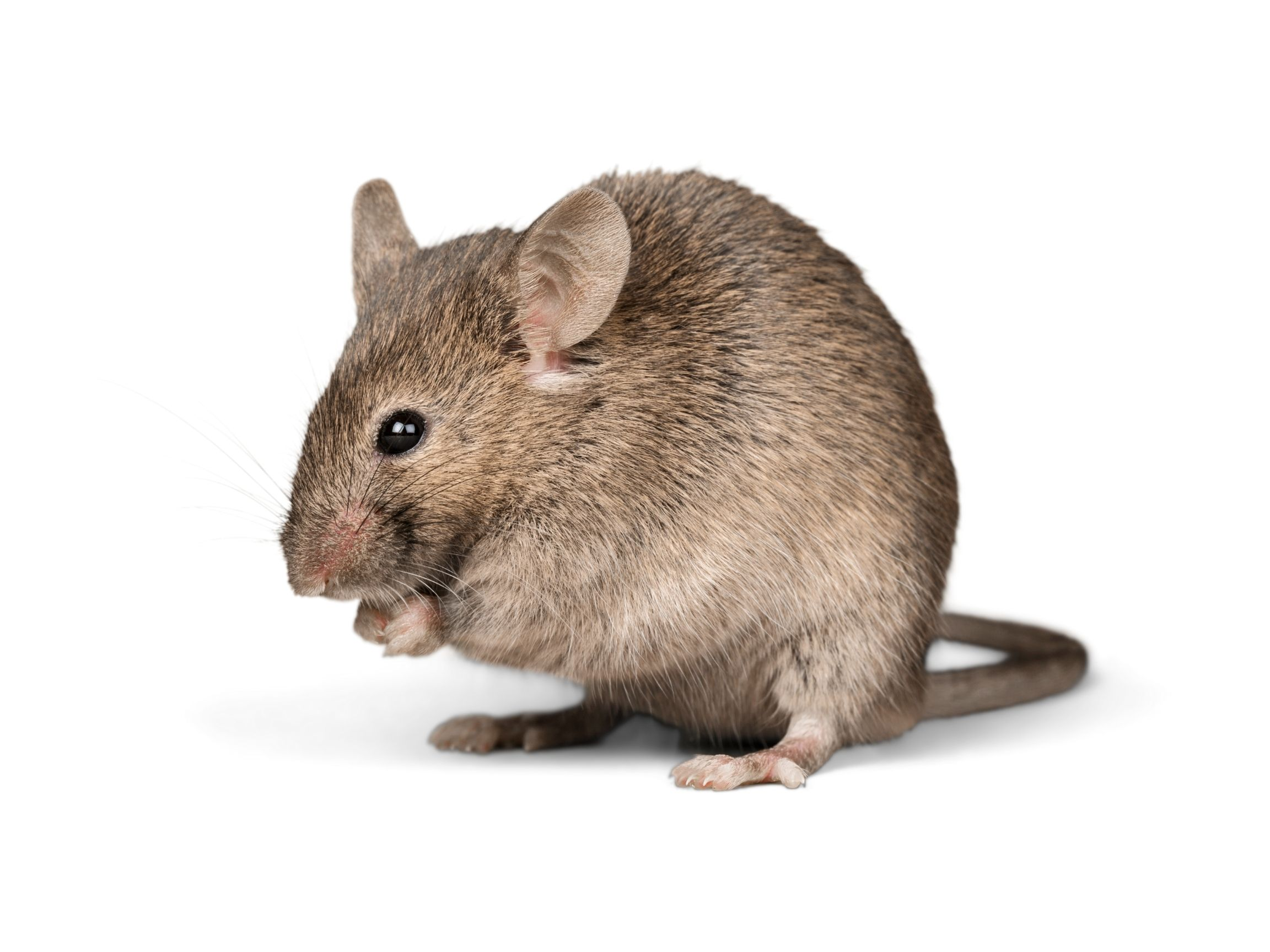 How to rid your home of rats